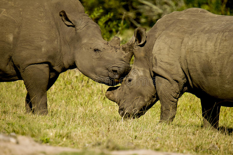 Rhinos rubbing heads. Two beautiful white rhinos standing and rubbing heads stock photography