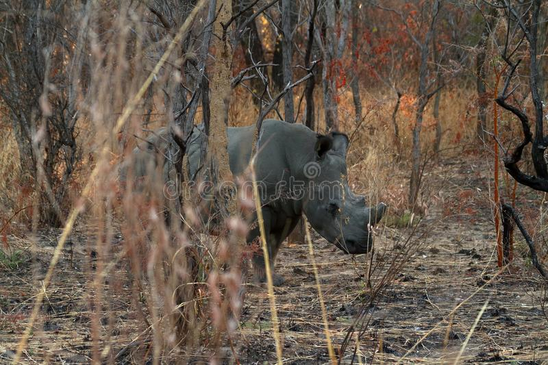 Rhinos in the savannah of Zimbabwe stock image