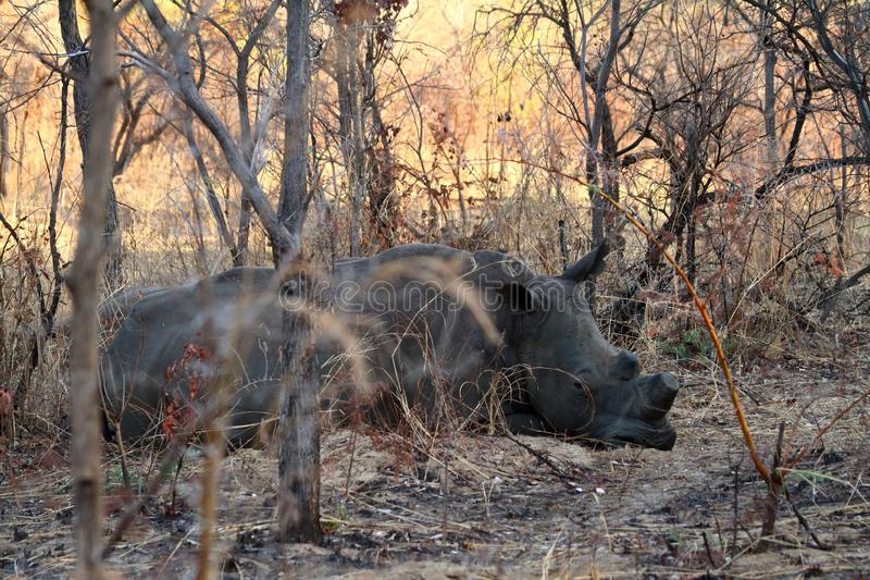 Rhinos in the savannah of Zimbabwe stock photos