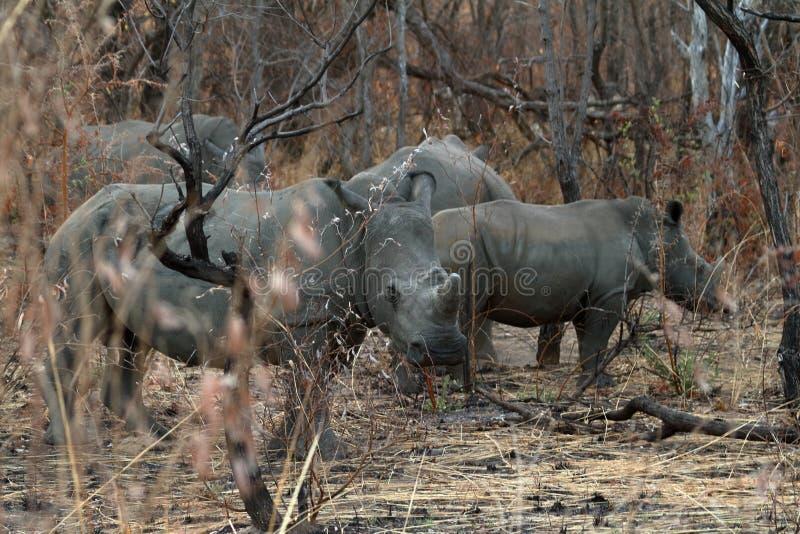 Rhinos in the savannah of Zimbabwe royalty free stock images