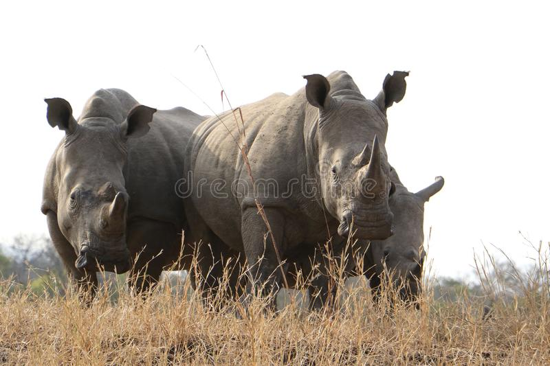Rhinos standing in dry bush royalty free stock photos