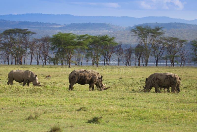 Rhinos w Jeziornym Nakuru Kenja fotografia stock