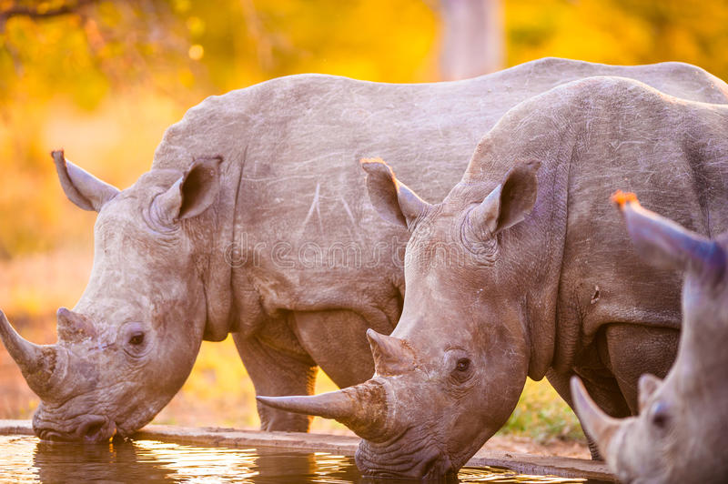 Rhinos at watering hole. Southern white rhinoceroses (Ceratotherium simum simum) at watering hole royalty free stock photos