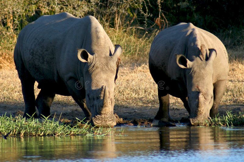 Rhinos at a Watering Hole. Two Rhinos drinking from a watering hole at Kruger National Park in South Africa stock image