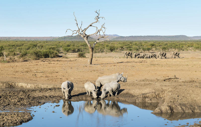 Rhinos At A Watering Hole. As a herd of elephants is moving past in the background, Kruger National Park, South Africa stock photography