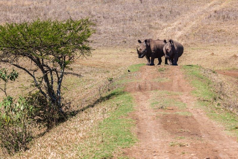 Download Rhinos Wildlife Bank Crossing Stock Image - Image: 34301331