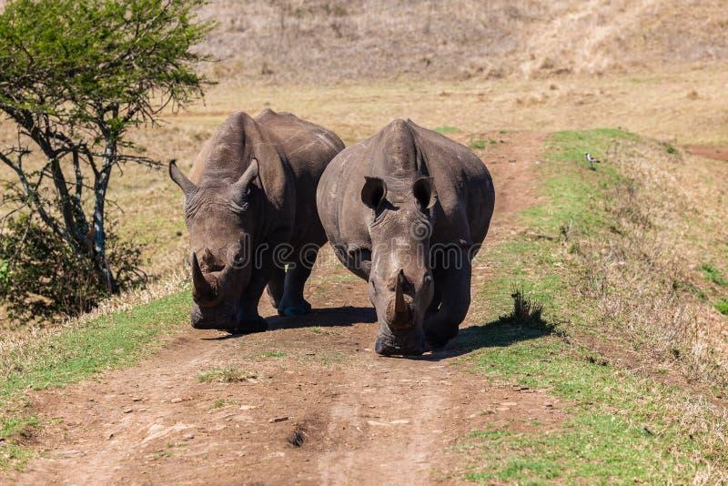 Rhinos Wildlife Straight-On Stock Photos