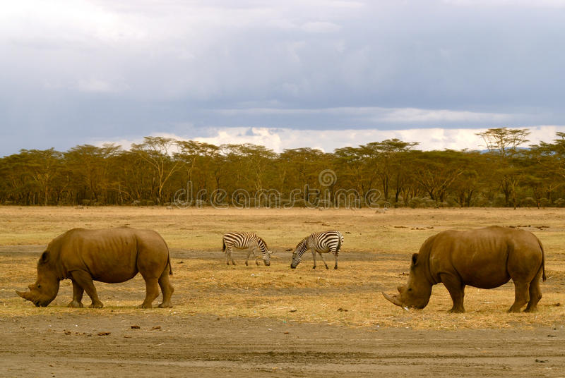 2 rhinos and 2 zebras in African landscape (Kenya) royalty free stock photo