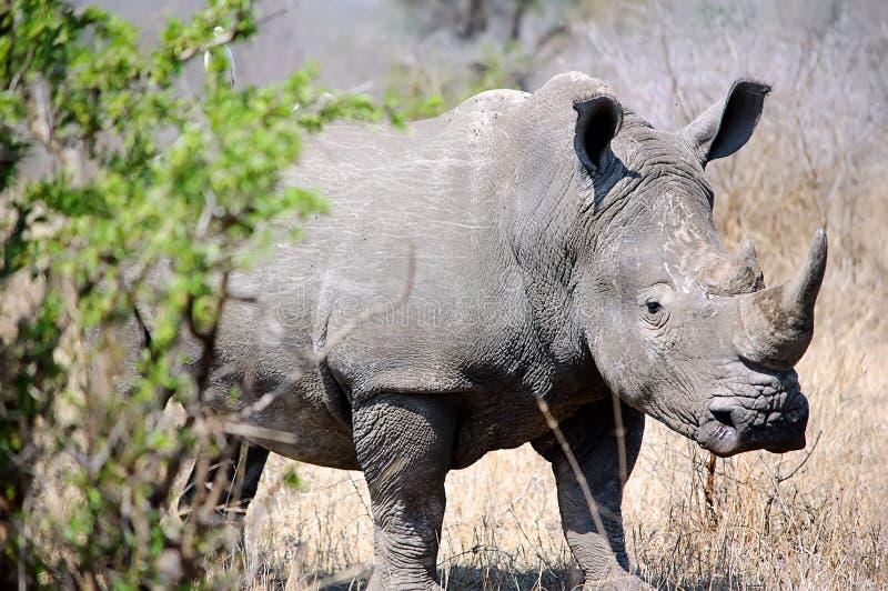 Rhinosaurus royalty-vrije stock foto's