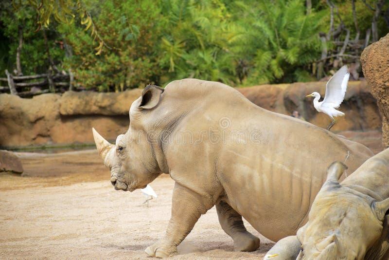Rhinozeros, in der Nähe von Joyvögeln stockbilder