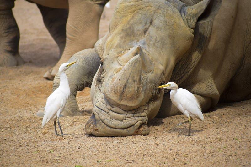Rhinozeros, in der Nähe von Joyvögeln lizenzfreie stockbilder