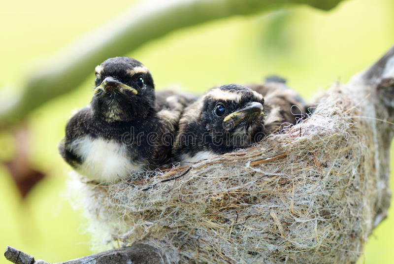 Rhipidura Leucophrys Willie Wagtail chicks nest royalty free stock images