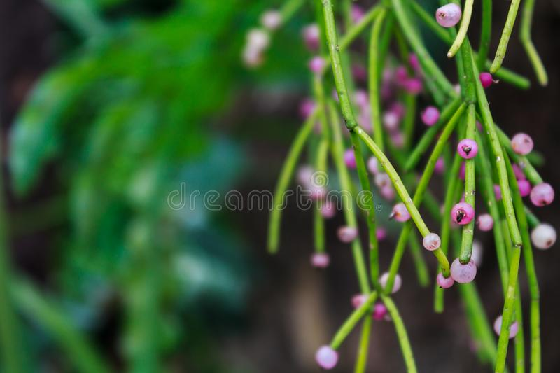Rhipsalis (Mistletoe cactus), genus of abundant epiphyte cacti in the trees of the Americas and parts of Africa and Asia.  stock photo