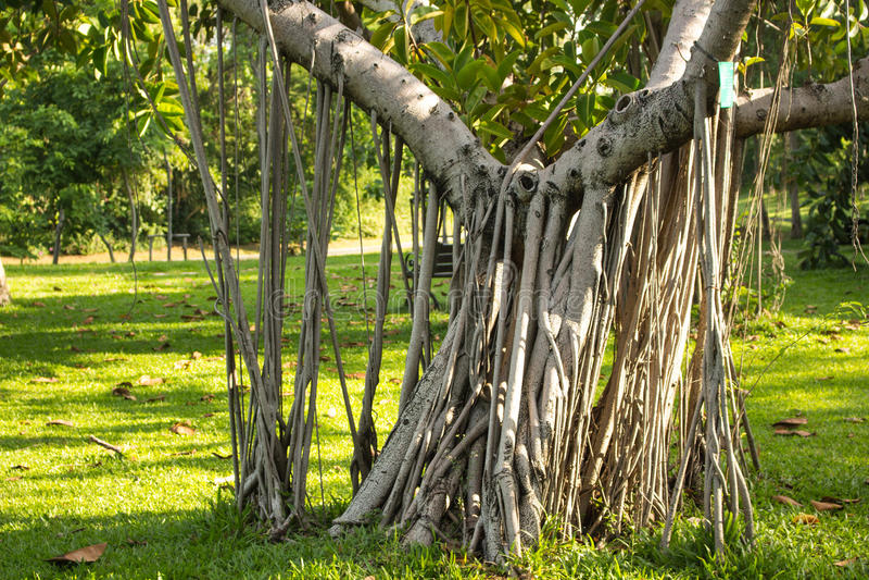 Rhizomatous植物生长 免版税库存照片