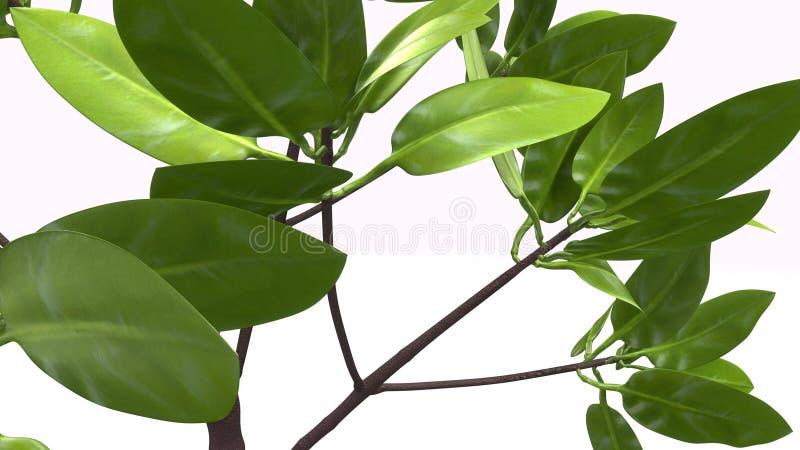 Rhizophora royalty free stock image