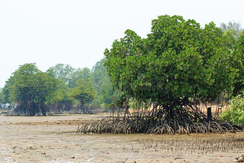 Rhizophora Mangrove Mudflats stock photo