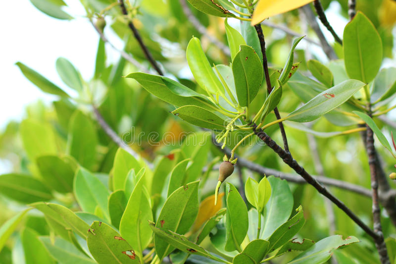 Rhizophoramangrovefrukt arkivbilder