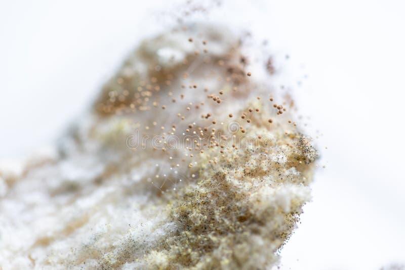 Rhizopusbrotform ist eine Klasse von allgemeinen saprophytischen Pilzen, Rhizopusbrotform unter dem Mikroskop für Ausbildung stockbild