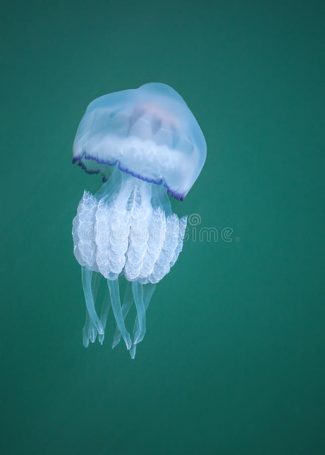 Rhizostoma Medusas peligrosas del Mar Negro imagen de archivo