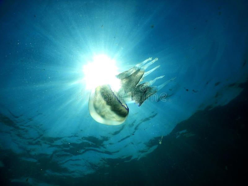 Rhizostoma pulmo: błękitni jellyfish zdjęcia royalty free