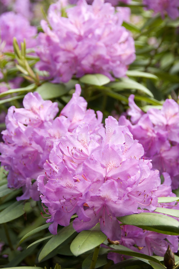 Download Rhodedendron stock image. Image of inflorescence, ericaceae - 2057865