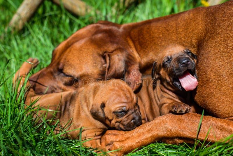 Rhodesian说谎与她的在草的小狗的Ridgeback 免版税库存照片