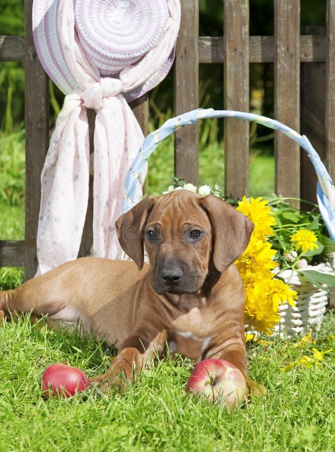 Rhodesian Ridge-back puppy dog in the garden stock photo