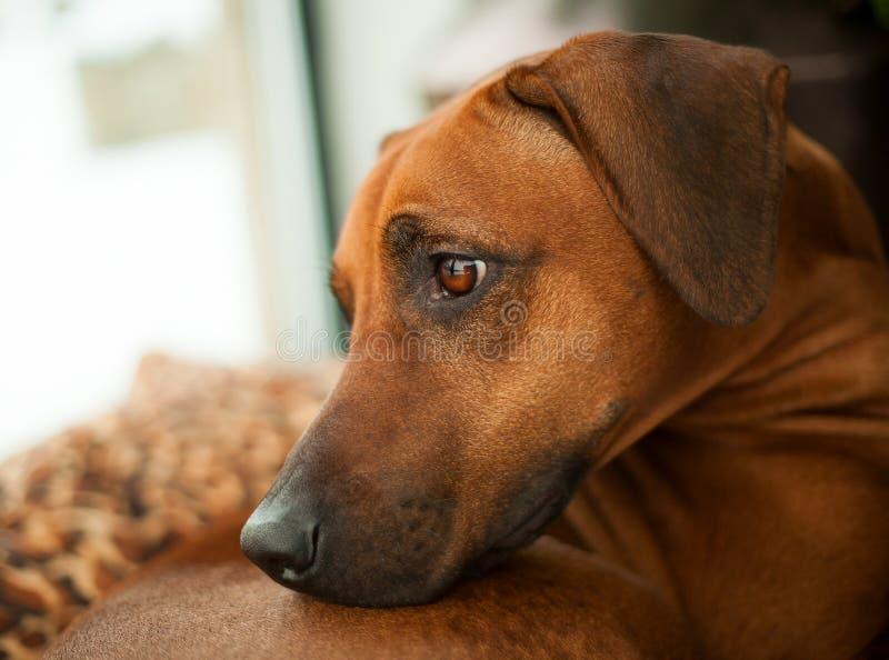 Rhodesian Ridgeback我-猎犬- LionÂ的狗 库存图片