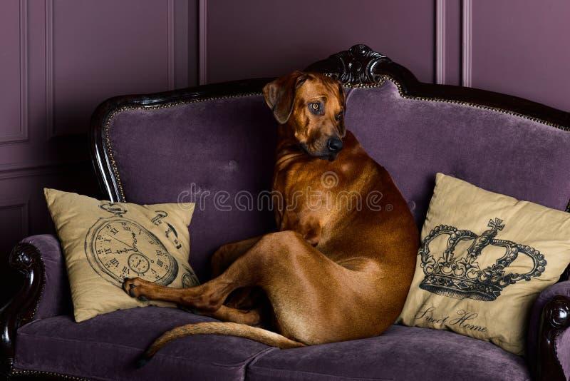 Rhodesian Ridgeback狗坐沙发 免版税库存图片