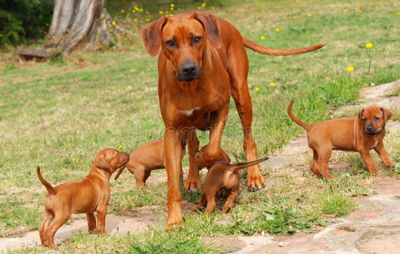 Rhodesian Ridgeback com filhotes de cachorro imagens de stock