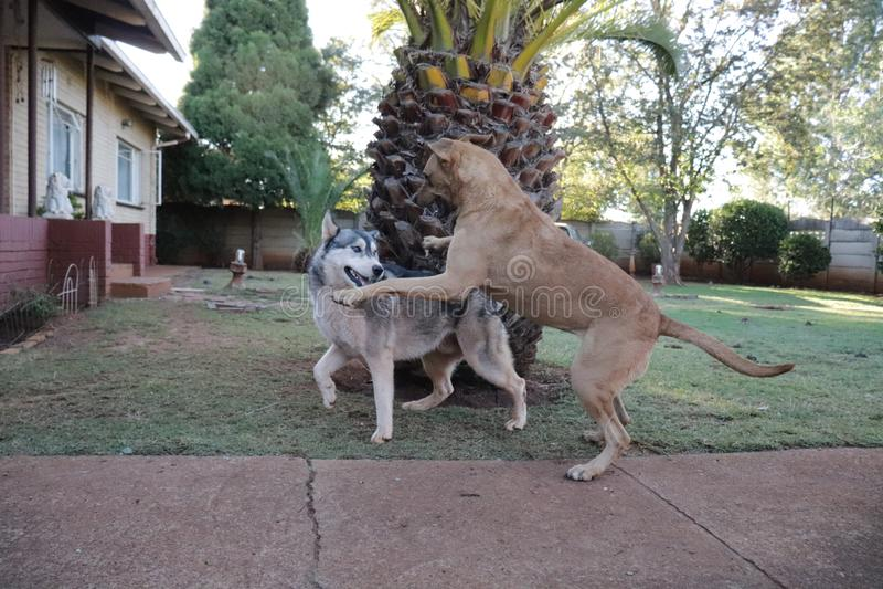 Rhodesian Ridgeback, das auf einen Schlittenhund sich st?rzt stockfoto