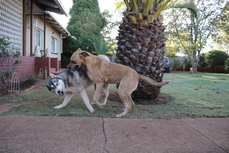 Rhodesian Ridgeback, das mit Schlittenhund spielt lizenzfreies stockbild