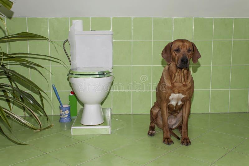 Rhodesian ridgeback. Dog in the bathroom with toilet. Abdominal pain stock image