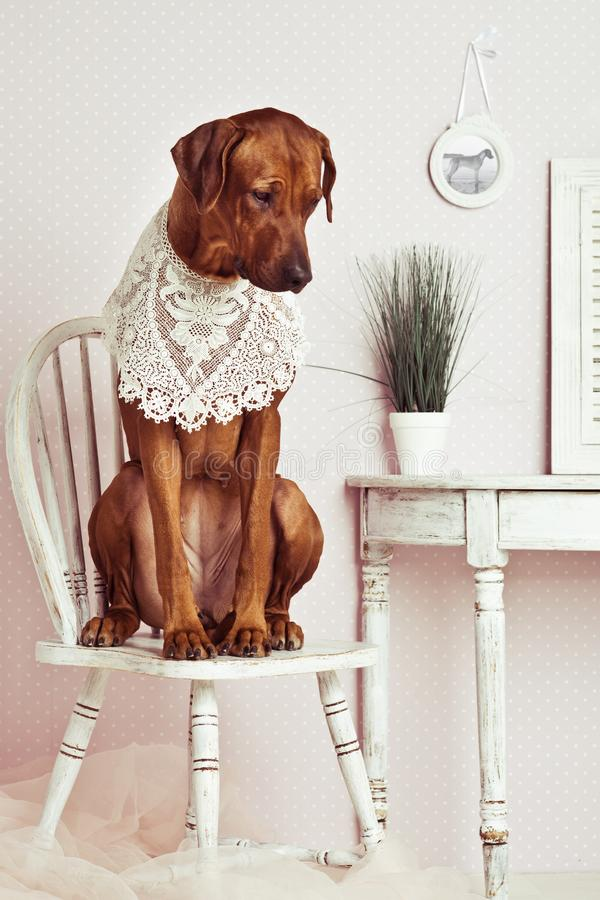 Rhodesian Ridgeback dog lady in front of a vanity stock photography