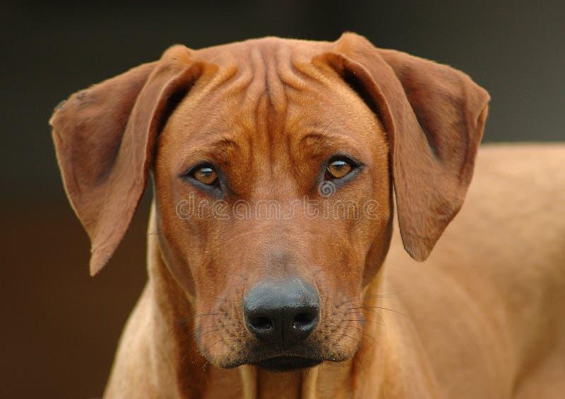 Rhodesian Ridgeback dog head portrait stock photography
