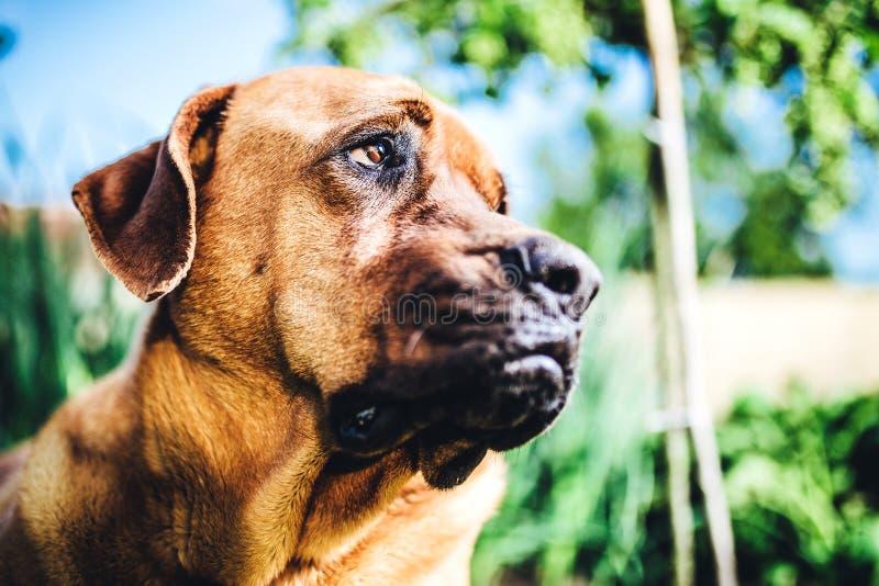 Rhodesian Ridgeback dog portrait stock image