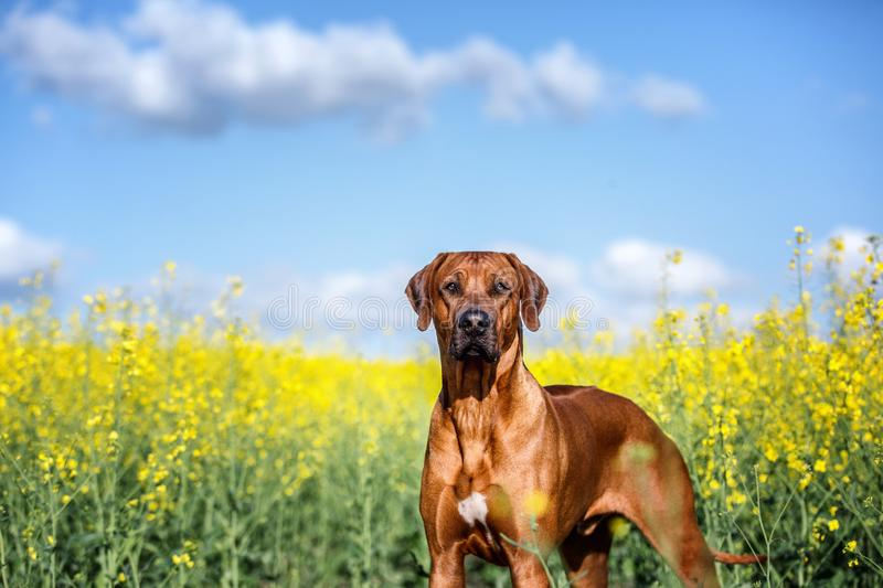 Portrait of a rhodesian ridgeback dog. royalty free stock image
