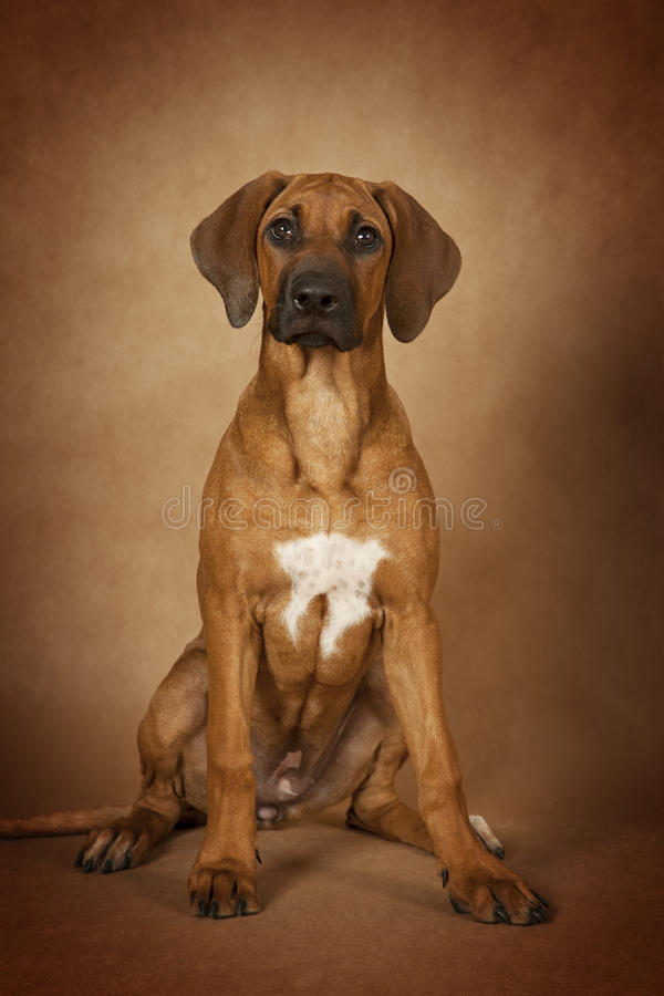 Rhodesian Ridgeback dog royalty free stock photo