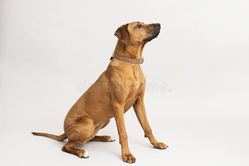 Rhodesian ridgeback dog. Studio shot of dog on pale background stock images