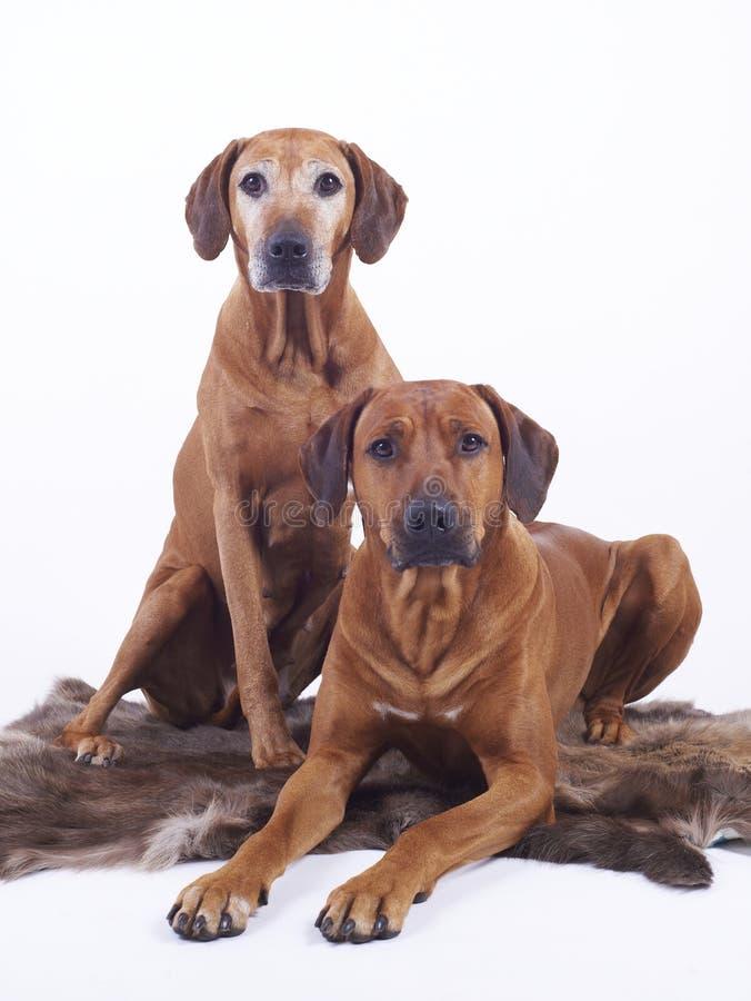 Rhodesian ridgeback dogs couple stock images