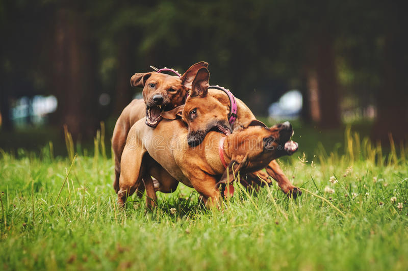Rhodesian Ridgeback dogs playing in summer royalty free stock images