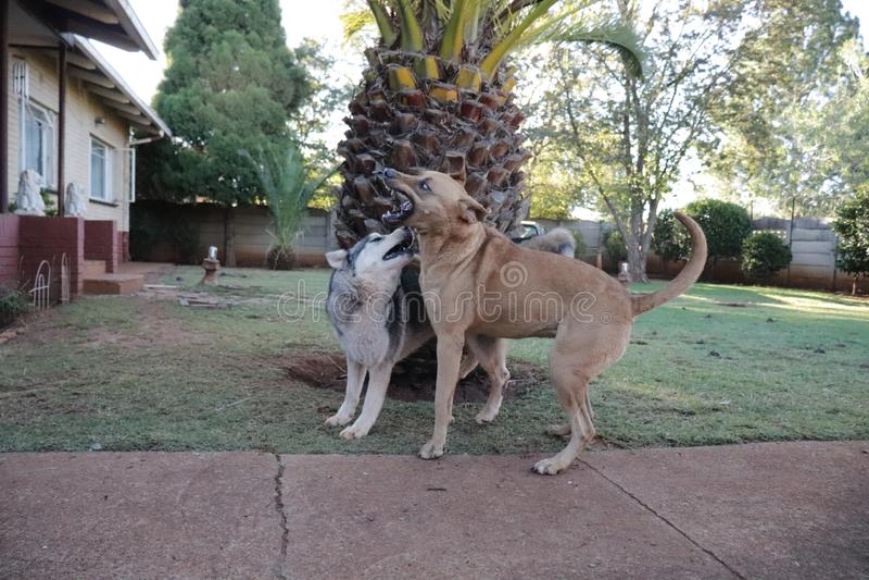 Rhodesian Ridgeback en Husky Enjoying een Spelzitting royalty-vrije stock afbeeldingen
