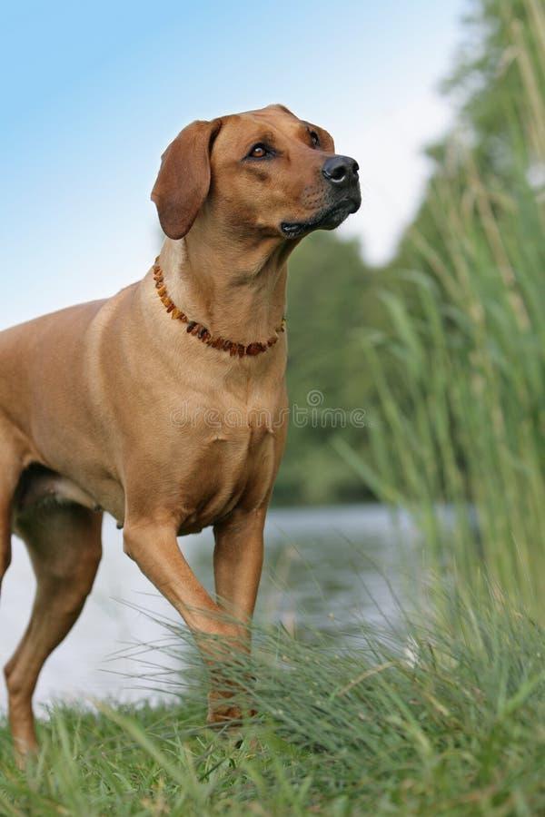 rhodesian ridgeback för hund royaltyfri foto