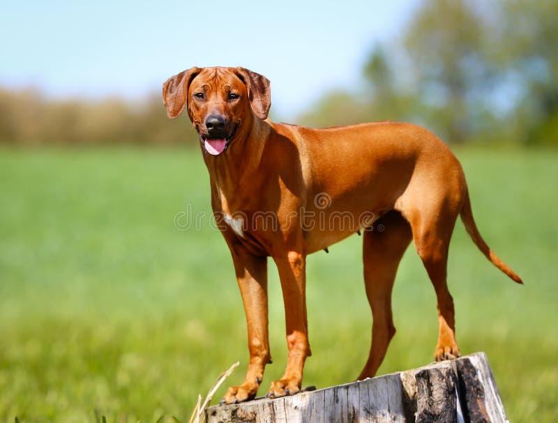 rhodesian ridgeback för hund royaltyfri fotografi