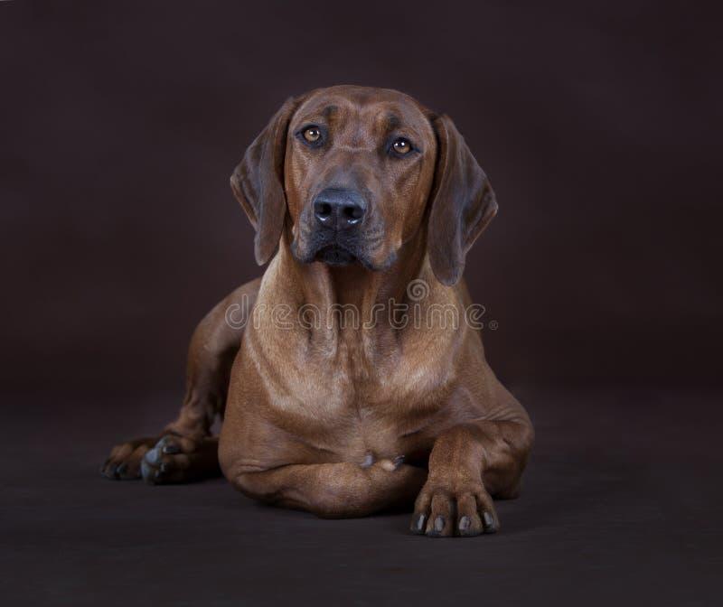 rhodesian ridgeback för hund royaltyfria foton