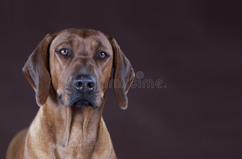 rhodesian ridgeback för hund arkivbild