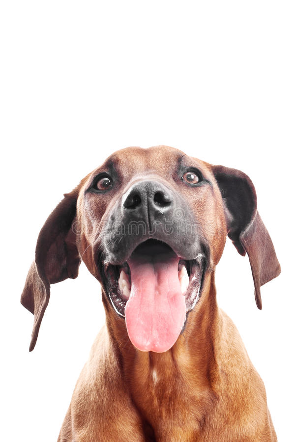 Dog face, big tongue stock photo