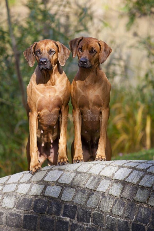 Rhodesian Ridgeback Females stock photo
