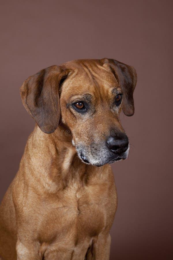 Download Rhodesian Ridgeback Hound Dog Stock Image - Image: 25215373