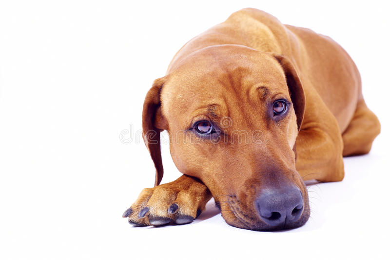 Rhodesian Ridgeback hound lying stock photo